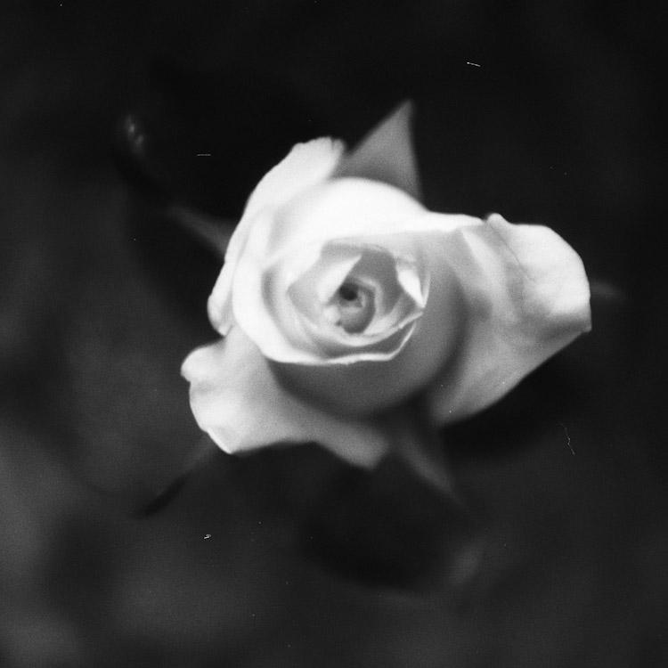 Роза в дуотоне © 2010 Alex Nedoviziy