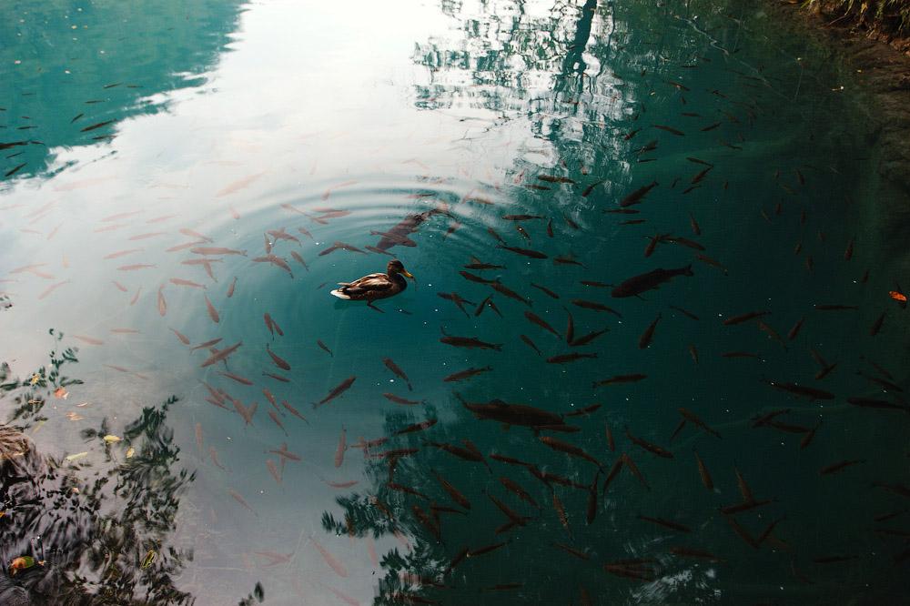 В облозі. Плітвіцькі озера, Хорватія © 2012 Alex Nedovizii